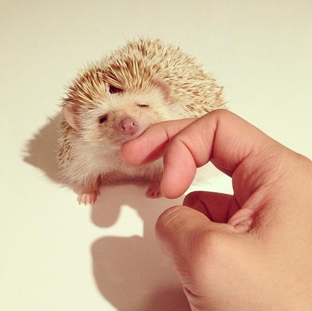 mrwonderful_darcy_the_flying_hedgehog_erizo_015