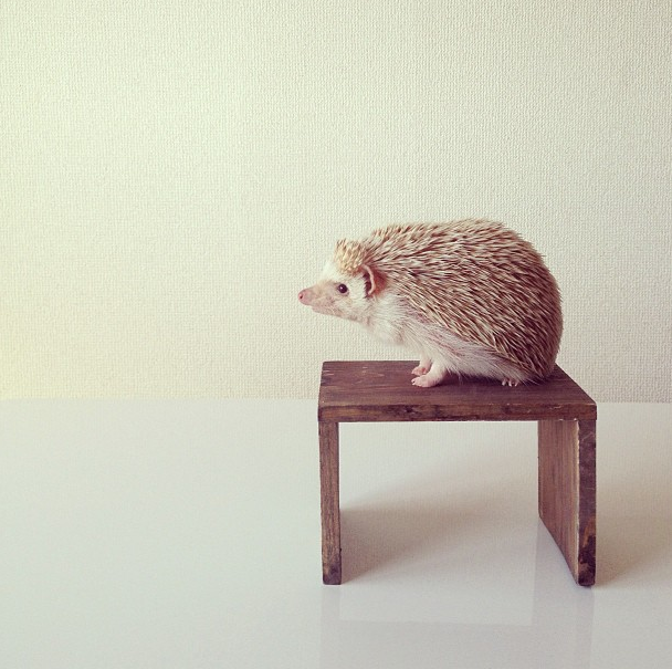 mrwonderful_darcy_the_flying_hedgehog_erizo_023