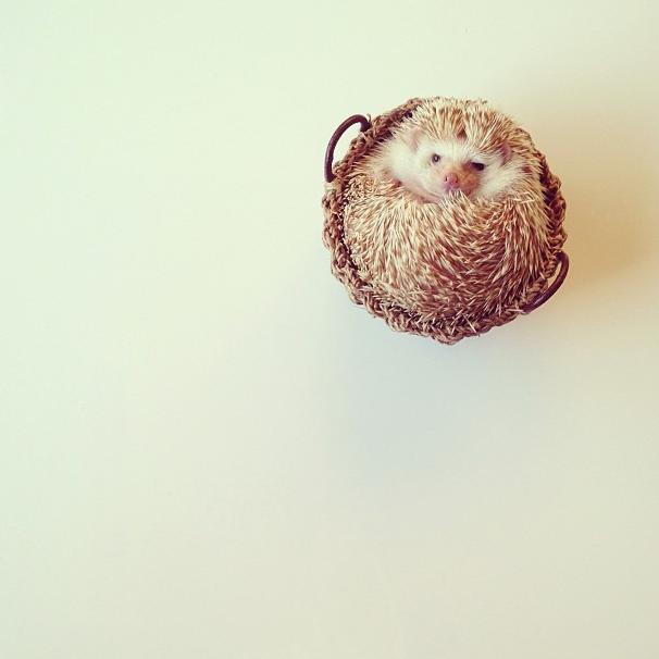 mrwonderful_darcy_the_flying_hedgehog_erizo_024
