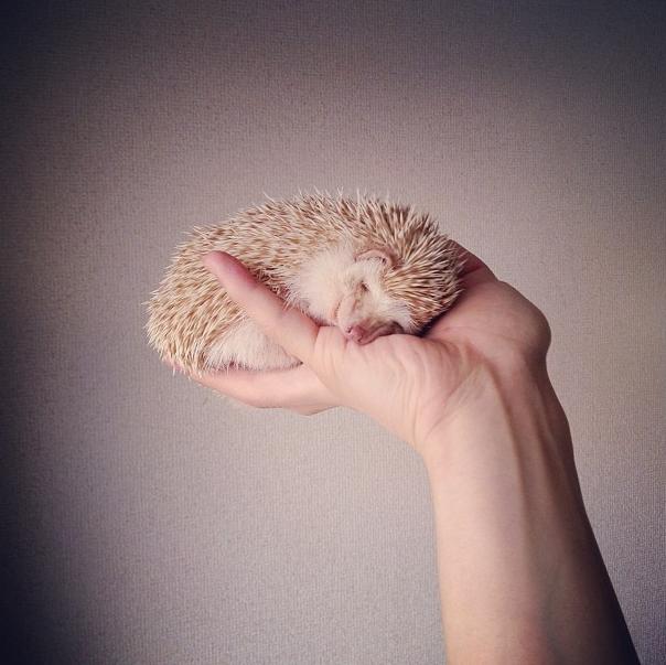 mrwonderful_darcy_the_flying_hedgehog_erizo_027