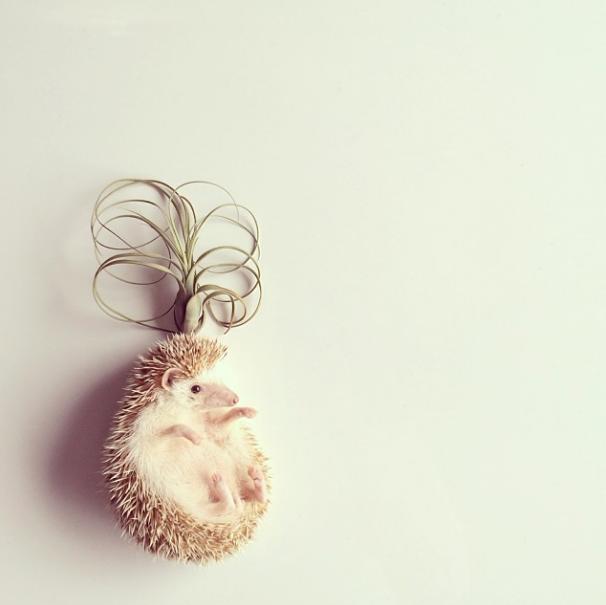 mrwonderful_darcy_the_flying_hedgehog_erizo_04