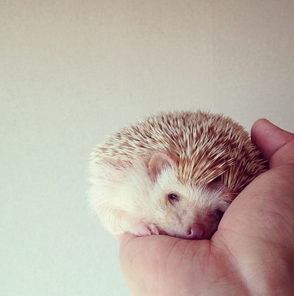 mrwonderful_darcy_the_flying_hedgehog_erizo_08